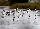 鰲鼓的候鳥與水鳥:074A7982飛姿.jpg