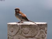 台南關子嶺的山麻雀親鳥育雛:074A3706.JPG