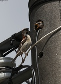台南關子嶺的山麻雀親鳥育雛:074A3433.JPG