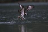 水鳥捕魚千裡挑一精彩鏡頭:N74A1601.JPG