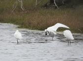 鰲鼓的候鳥與水鳥:074A7985黑琵抓癢.jpg
