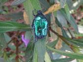 藍艷白點花金龜:DSC08649.JPG