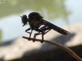 老友湖口別墅的生物:DSC07361昆蟲界的超級殺手.jpg
