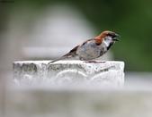 台南關子嶺的山麻雀親鳥育雛:074A3589.JPG