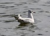 鰲鼓的候鳥與水鳥:N74A3112.JPG
