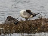 鰲鼓的候鳥與水鳥:074A7909尖尾鴨.jpg