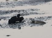 台南沿海生態、鹽田風光與落日:074A4456魚鰭全張求偶.jpg