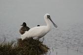 清晨鰲鼓濕地的鳥類:S__27238453.jpg