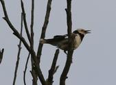 復旦大埤塘周遭的鳥兒:N74A2954鳴叫.jpg
