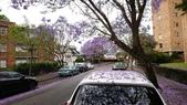 2017雪梨的藍花楹:10492.jpg