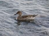 鰲鼓的候鳥與水鳥:N74A3130尖尾鴨母.JPG