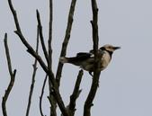 復旦大埤塘周遭的鳥兒:N74A2955a.jpg
