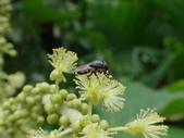 錐口蠅(口鼻蠅)吸野桐雄花的花蜜:DSC07947.JPG