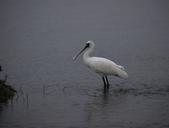 清晨鰲鼓濕地的鳥類:074A5867.JPG