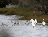 鰲鼓的候鳥與水鳥:074A7973.JPG