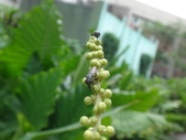 錐口蠅(口鼻蠅)吸野桐雄花的花蜜:DSC07949.JPG