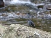 雙溪秋天的鳥類:074A5459鉛色水鶇母鳥.jpg