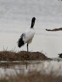 鰲鼓的候鳥與水鳥:074A8013a.jpg
