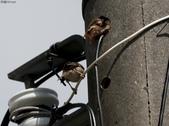 台南關子嶺的山麻雀親鳥育雛:074A3413公鳥返巢探望.jpg