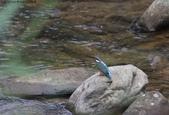 雙溪秋天的鳥類:074A5553翠鳥.jpg