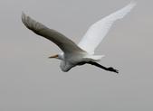 鰲鼓的候鳥與水鳥:074A7919.JPG