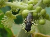 錐口蠅(口鼻蠅)吸野桐雄花的花蜜:DSC07942a.jpg