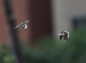 復旦大埤塘周遭的鳥兒:N74A2992a.jpg