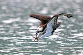 水鳥捕魚千裡挑一精彩鏡頭:N74A0594魚鷹.JPG