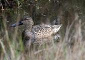鰲鼓的候鳥與水鳥:N74A3164尖尾鴨母.JPG