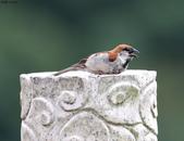 台南關子嶺的山麻雀親鳥育雛:074A3579張嘴鳴叫.JPG