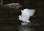 雙溪秋天的鳥類:074A5626小白鷺捕魚.jpg