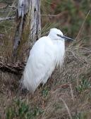 鰲鼓的候鳥與水鳥:N74A3178小白鷺.JPG