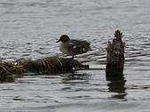 鰲鼓的候鳥與水鳥:074A7867a.jpg