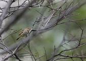 復旦-新天母公園的鳥兒:074A8115樹鷚.jpg