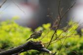 復旦-新天母公園的鳥兒:N74A3507.JPG