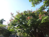 平鎮復興親子公園秋天的花草樹木:DSC05872台灣欒樹.JPG
