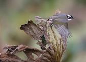 復旦大埤塘周遭的鳥兒:N74A3001白頭翁展翅飛翔.JPG