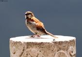 台南關子嶺的山麻雀親鳥育雛:074A3695.JPG