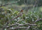 雙溪秋天的鳥類:074A5483a.jpg