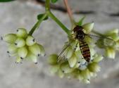 細扁食蚜蠅取食火炭母草花蜜:DSC09150腹尾端有紅線紋.JPG