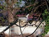 復旦社區冬天的鳥兒:074A7733夜鷺.jpg