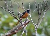 雙溪秋天的鳥類:074A5483黃尾鴝公鳥.jpg