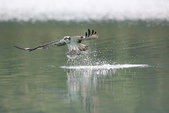 水鳥捕魚千裡挑一精彩鏡頭:N74A0906.JPG