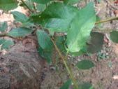 黑巴達姬蜂(雄):DSC02703.JPG