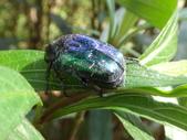 藍艷白點花金龜:DSC08624.JPG