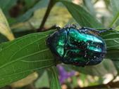 藍艷白點花金龜:DSC08628.JPG