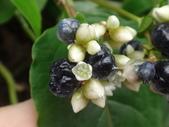 細扁食蚜蠅取食火炭母草花蜜:DSC09135火炭母草花朵與漿果.JPG