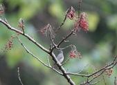 大雪山賞鳥和松鼠及猴王:074A7352a.jpg