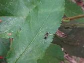黑巴達姬蜂(雄):DSC02705.JPG