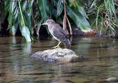 雙溪秋天的鳥類:074A5630夜鷺幼鳥.jpg